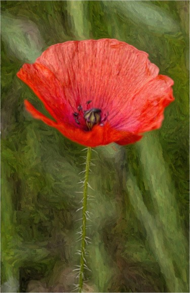 poppy-oil-effect