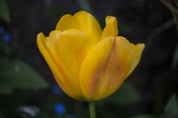 yellow-tulip