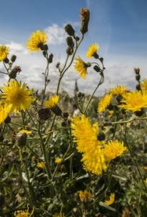 yellow-wild-flowers